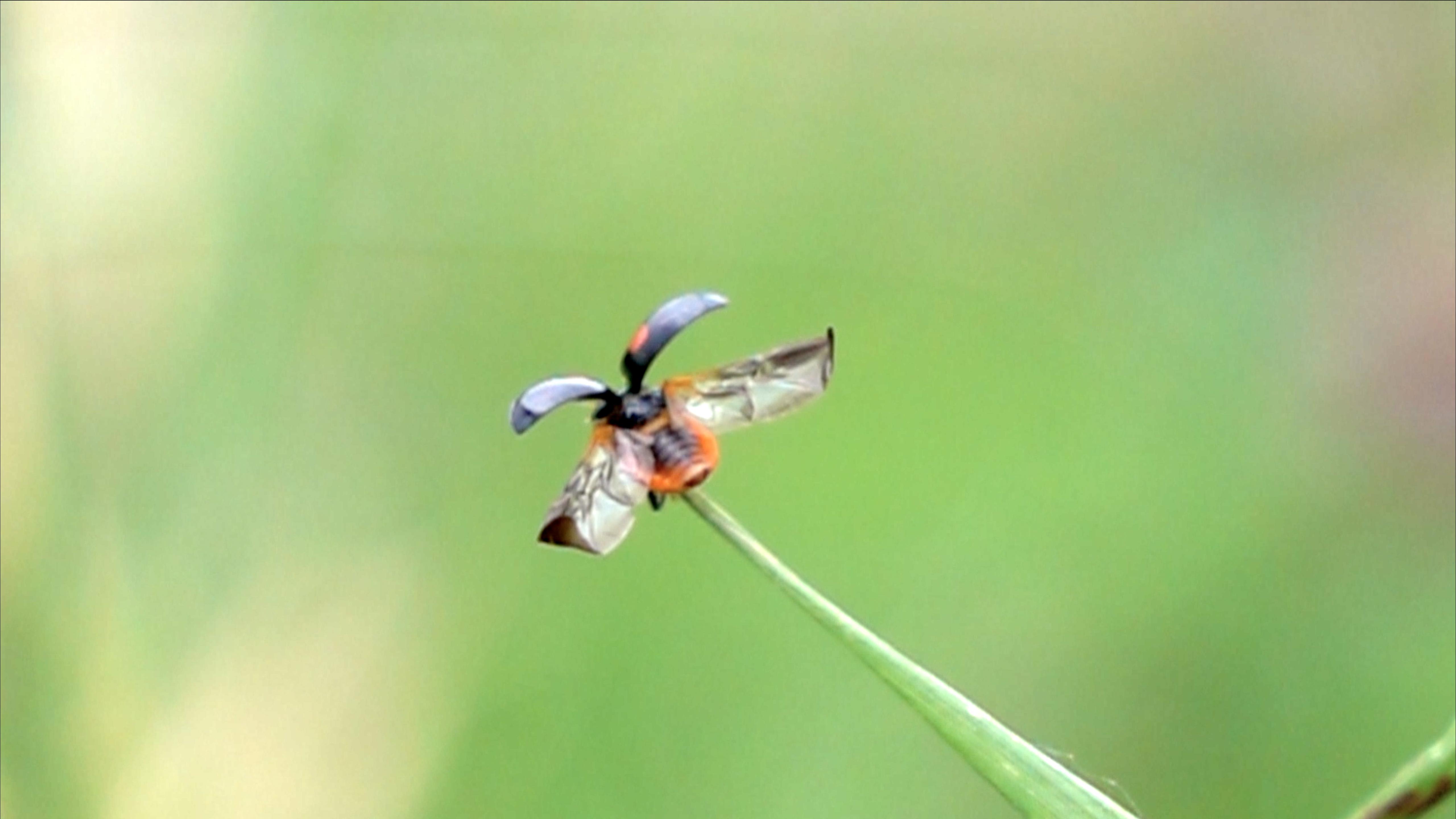 てんとう虫が飛び立つ瞬間をスーパースローで観察
